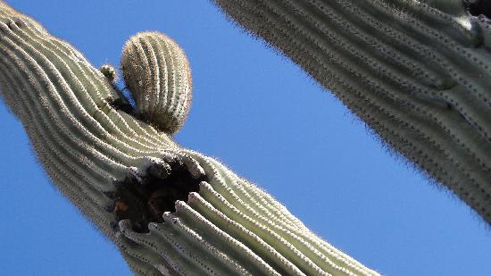 Frontier Motel: this saguaro is by the pool, with birds nesting