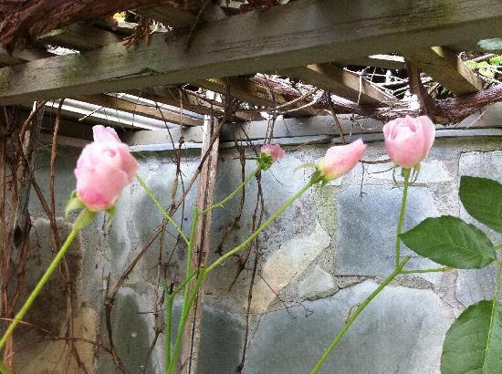 The Stone Hedge Bed and Breakfast: Roses in December at Stone Hedge B&B