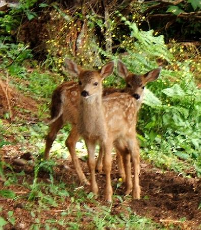 Deer Fern Bed and Breakfast: Lots of fawns to be seen
