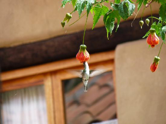 Casa Colibri eco-Lodge: colibri (hummingbird) and abutilon