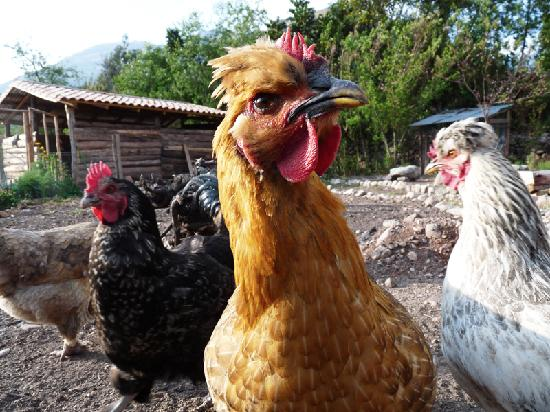 Casa Colibri eco-Lodge: the chickens!