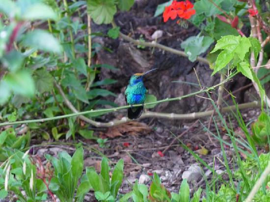 Casa Colibri eco-Lodge: hummingbird (colibri)