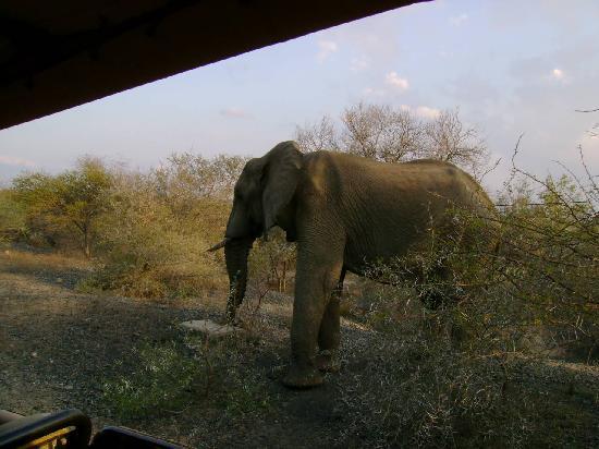 Lion Sands - Tinga Lodge: close and personal encounter with elephant