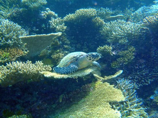 Diving Bluetribe Moofushi: Turtle