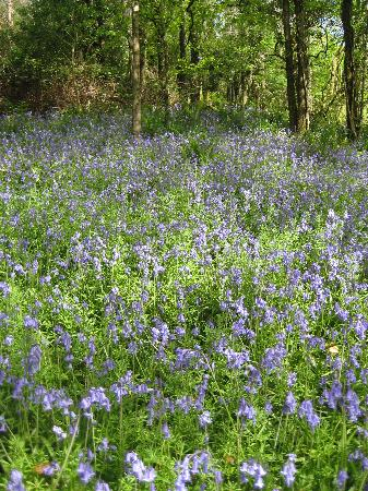 Cleave Farm Holiday Cottages: the bluebell woods