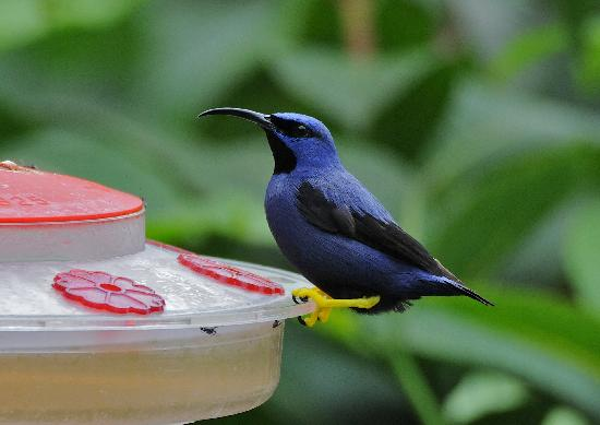 Asa Wright Nature Centre: Male purple honeycreeper