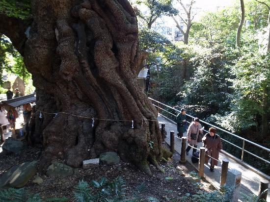 Kinomiya Shrine: レディたちは大楠よりは若いです