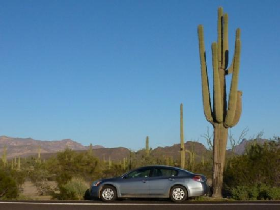 Ajo, AZ: Giant cactus, organ pipe, arizona, with car