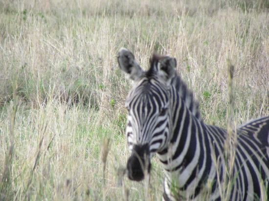 Manyara Ranch Conservancy: Zebra