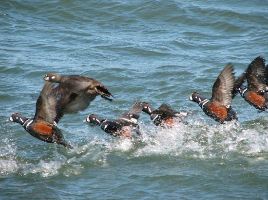 Barnegat Lighthouse State Park: Harlequin ducks visiting Barnegat Inlet - visible from the lighthouse walk
