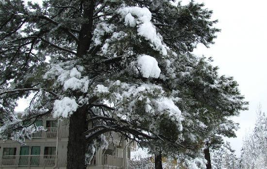 Motel 6 Flagstaff West-Woodland Village : Magnificent Ponderosa pines in the courtyard