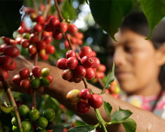 Finca Filadelfia, Coffee Resort & Tours: From our groves to your cup, fresh coffee from Antigua Guatemala