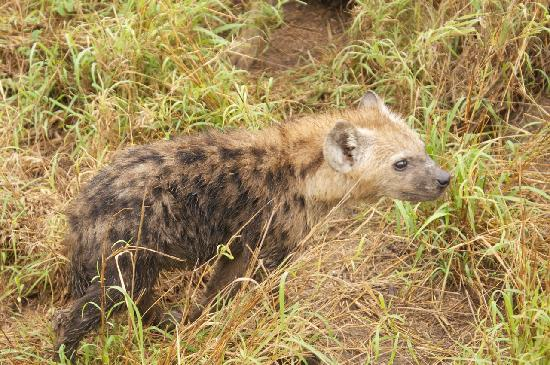 Cheetah Plains: Hyena cub