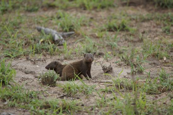 Cheetah Plains: Dwarf Mongoose