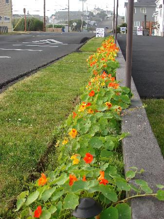 Whistling Winds Motel: Rows of Nasturtiums