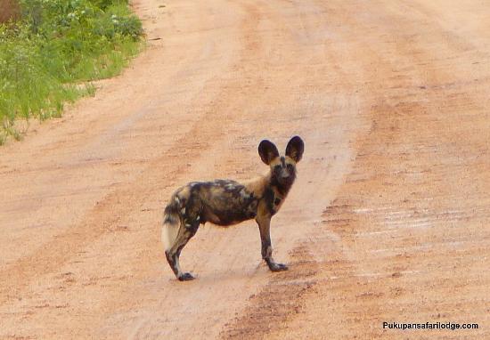 Puku Pan Safari Lodge: The painted dog, clever killers