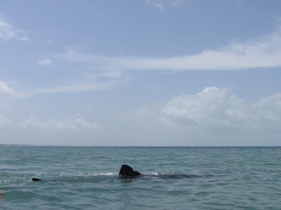 Mafia Island, Tanzania: Big Whale Shark which I was swiming with on the trip