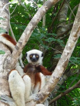 Anjajavy L'Hotel: Lemur!