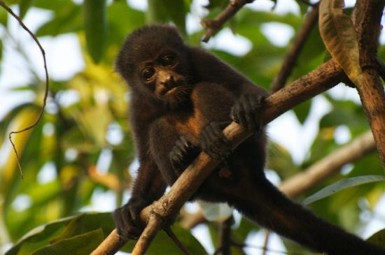 Alma Villa & Restaurant : monkeys outside of the villa