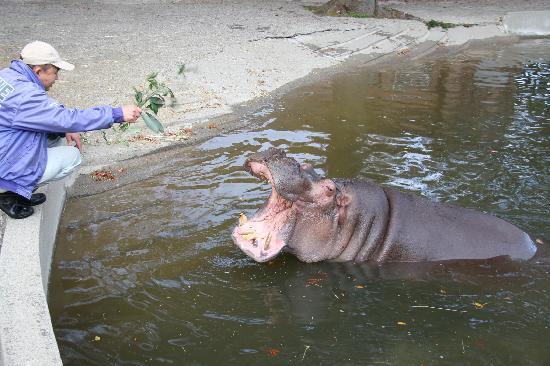 Kamine Park: 係の人から餌をもらうカバ