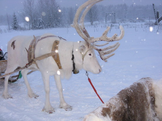 Hotel Hullu Poro - The Crazy Reindeer: Reindeer Safari