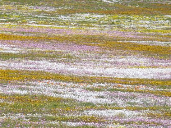 Namaqualand: Goegap, impressionistische Gemälde aus Blumen