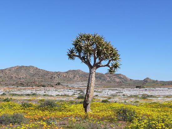 Namaqualand: Goegap, Köcherbaum