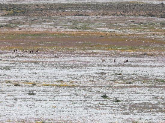 Namaqualand: Goegap: Zebras, Oryx, Springböcke