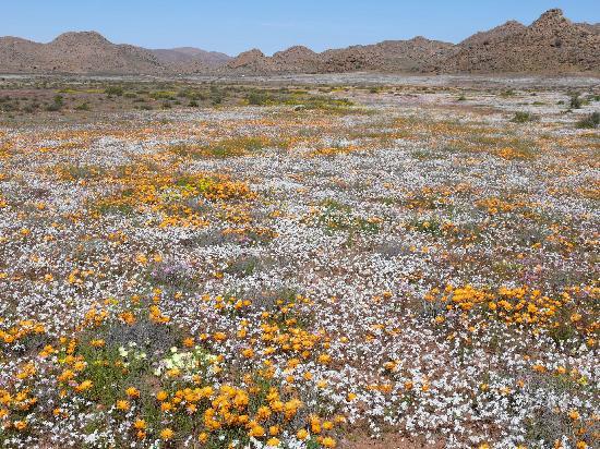 Namaqualand: Goegap: Blumen bis zum Horizont