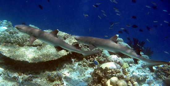 Ellaidhoo Maldives by Cinnamon: Sharks