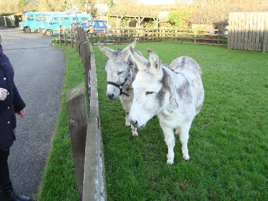 Sidmouth, UK: donkey & friend