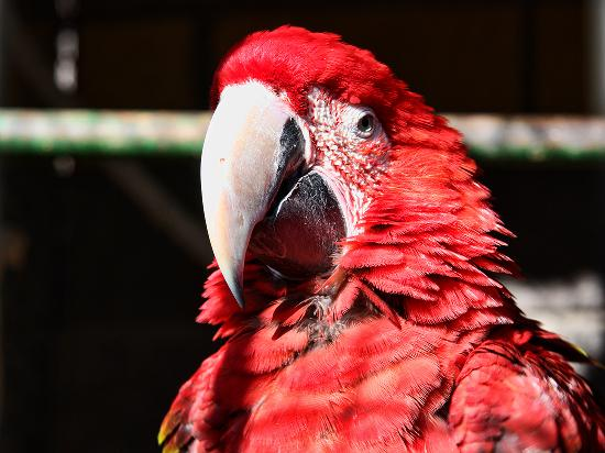 Cocodrilo Park zoo : Red one