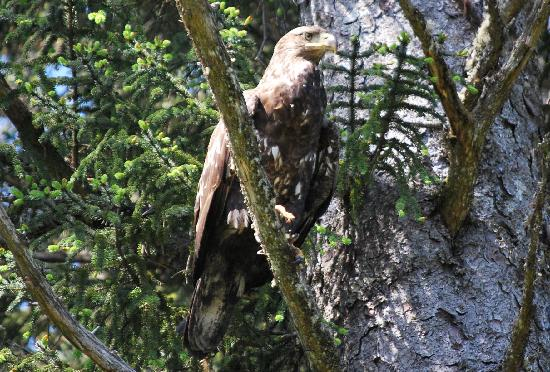 A Bayview Inn: Immature eagle that visited often