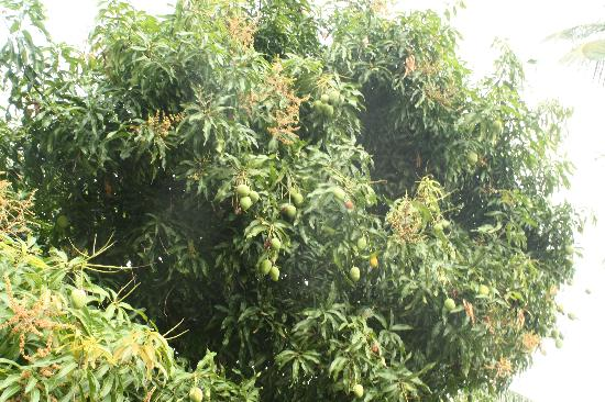 Still Beach House : Mango tree on the property.