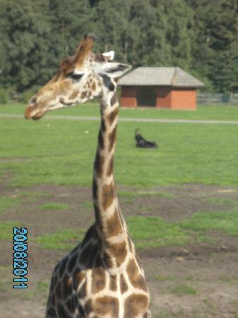 Serengeti-Park Hodenhagen: Auge um Auge mit den Giraffen