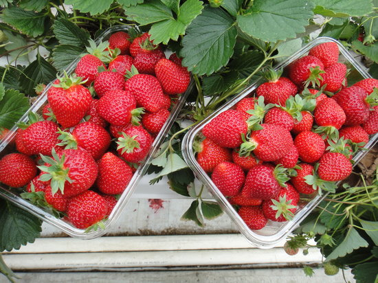 Hedgerows Hydroponic Strawberries