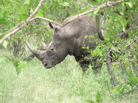 Gomo Gomo Game Lodge: Rhino found on bushwalk