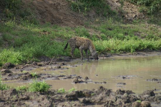 Gomo Gomo Game Lodge: Hyena that visited us during morning coffee