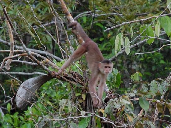 Napo Wildlife Center Ecolodge: One of the many capuchin monkeys we saw