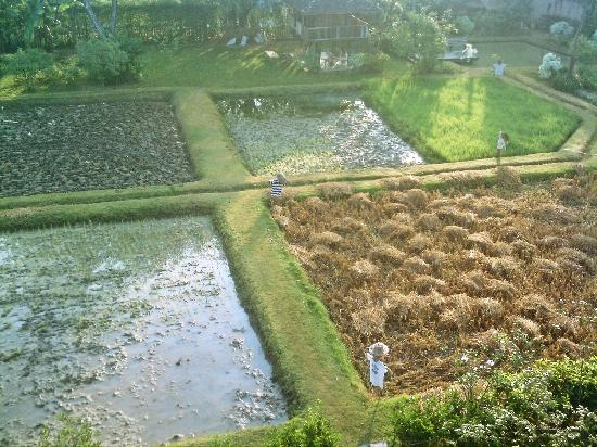 Siripanna Villa Resort & Spa: Rice paddy