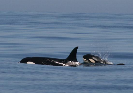 Monterey Bay Whale Watch: orca mother and calf