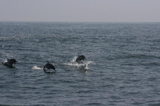 Monterey Bay Whale Watch: playful dolphins