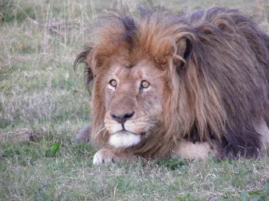 Dungbeetle River Lodge: Lion
