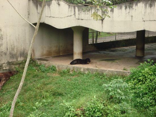 CIGS Zoo: Pantera Negra no Zoo do CIGS