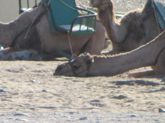 Caybeach Princess: CAMEL RIDES