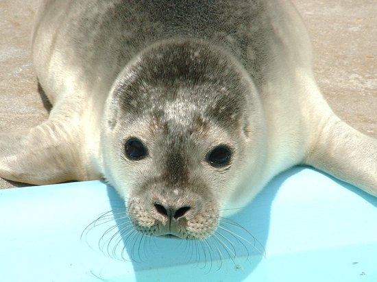 Skegness, UK: Brad the rescued seal pup