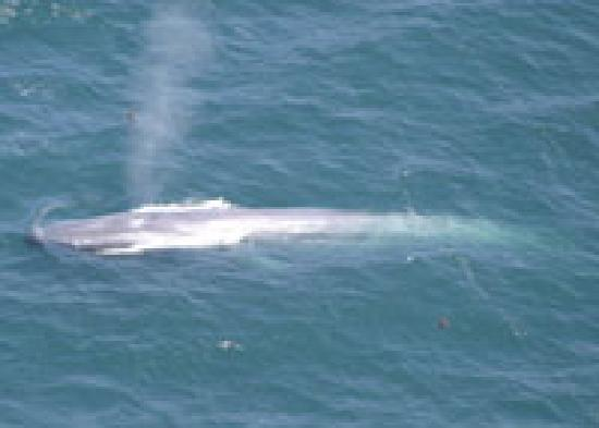 Specialized Helicopters: Grey Whales