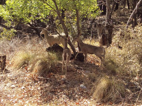 Ramsey Canyon Preserve: Whitetail Deer