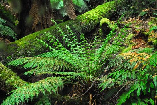 Myrtle Forest: Moss covered logs and ferns dominate