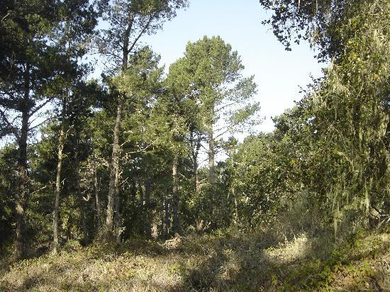 San Simeon State Park: Monterey Pine forest